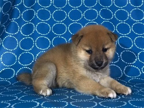 柴犬の子犬(ID:1262511414)の3枚目の写真/更新日:2017-09-25
