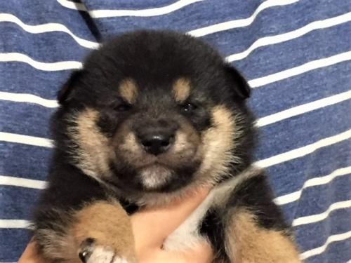 柴犬の子犬(ID:1262511415)の1枚目の写真/更新日:2017-09-27