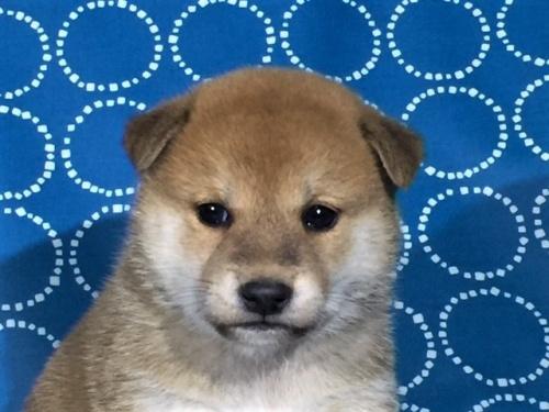 柴犬の子犬(ID:1262511416)の1枚目の写真/更新日:2017-10-05