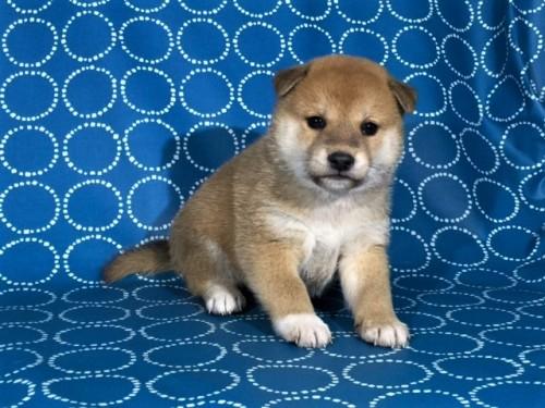 柴犬の子犬(ID:1262511416)の2枚目の写真/更新日:2017-10-05