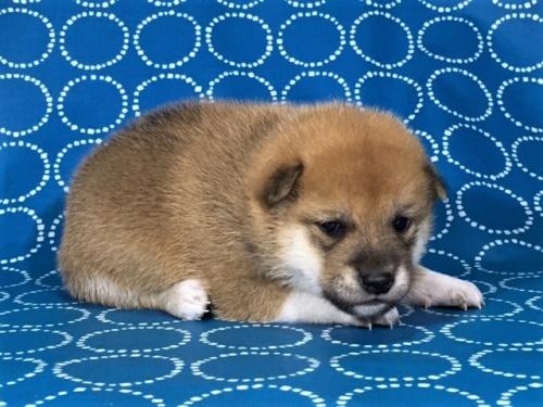 柴犬の子犬(ID:1262511417)の2枚目の写真/更新日:2017-09-27