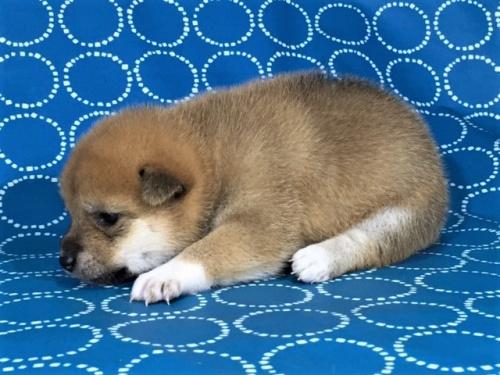 柴犬の子犬(ID:1262511417)の3枚目の写真/更新日:2017-09-27
