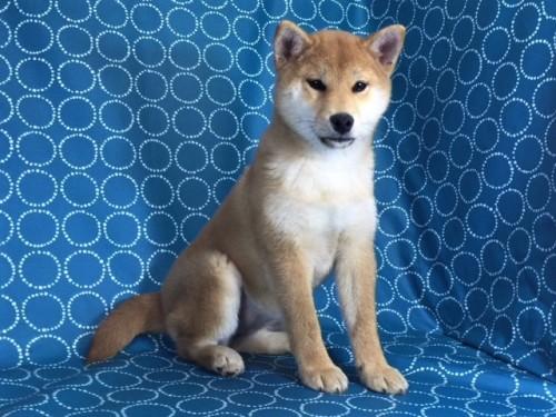 柴犬の子犬(ID:1262511418)の2枚目の写真/更新日:2017-12-10