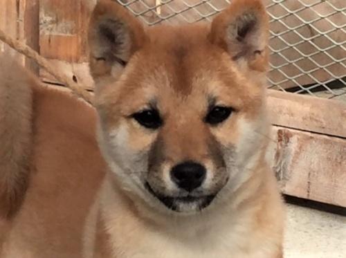 柴犬の子犬(ID:1262511423)の1枚目の写真/更新日:2017-12-02