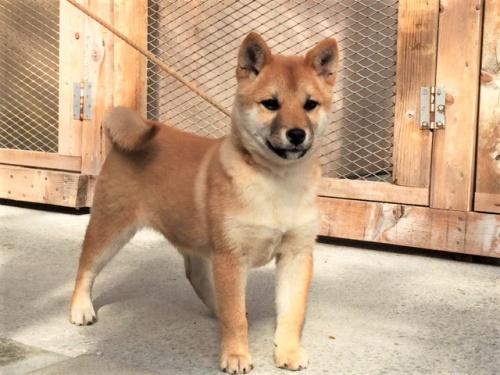 柴犬の子犬(ID:1262511423)の2枚目の写真/更新日:2017-12-02