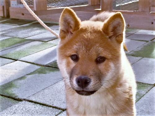 柴犬の子犬(ID:1262511424)の1枚目の写真/更新日:2017-12-11