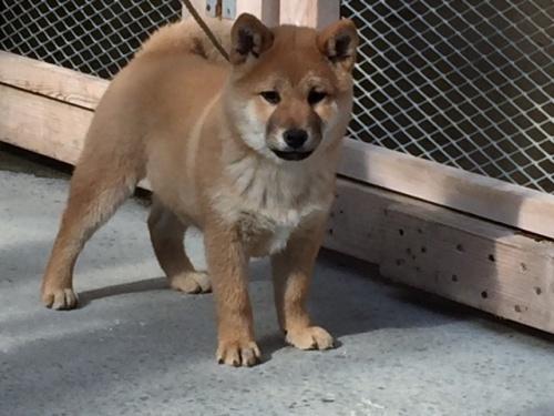 柴犬の子犬(ID:1262511424)の3枚目の写真/更新日:2017-12-11