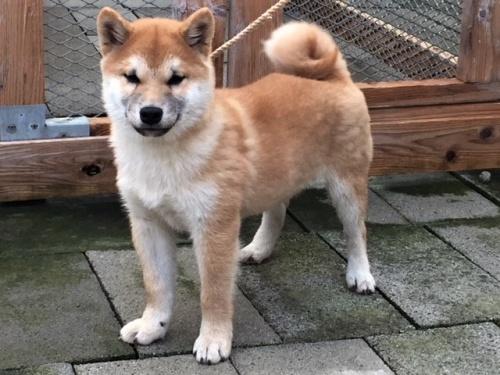 柴犬の子犬(ID:1262511425)の2枚目の写真/更新日:2017-12-10