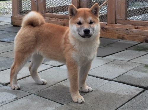 柴犬の子犬(ID:1262511425)の3枚目の写真/更新日:2017-12-10