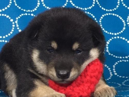 柴犬の子犬(ID:1262511426)の1枚目の写真/更新日:2017-10-05