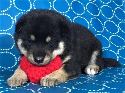 柴犬の子犬(ID:1262511426)の2枚目の写真/更新日:2017-10-05