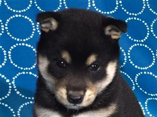 柴犬の子犬(ID:1262511427)の1枚目の写真/更新日:2017-10-17