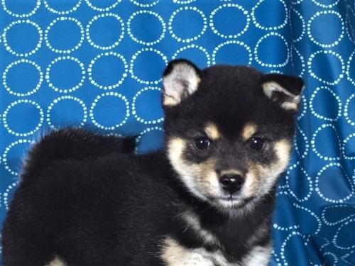 柴犬の子犬(ID:1262511429)の1枚目の写真/更新日:2017-11-10