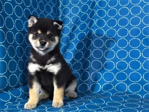 柴犬の子犬(ID:1262511429)の2枚目の写真/更新日:2017-11-10