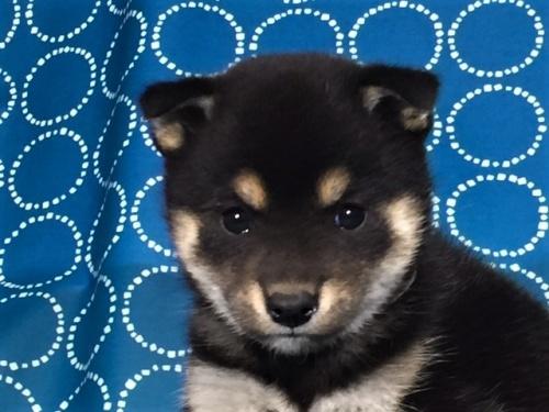 柴犬の子犬(ID:1262511430)の1枚目の写真/更新日:2017-10-25