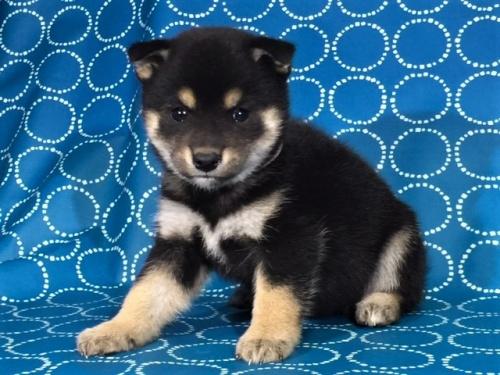 柴犬の子犬(ID:1262511430)の2枚目の写真/更新日:2017-10-25