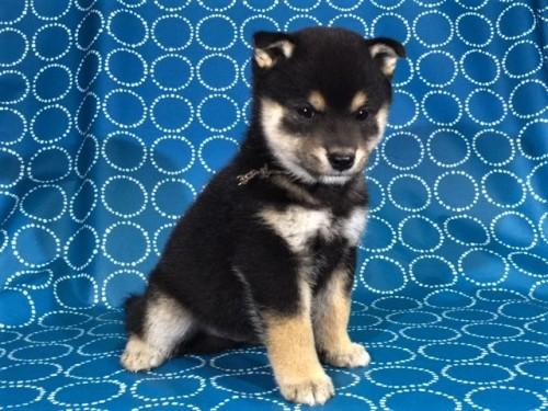 柴犬の子犬(ID:1262511431)の3枚目の写真/更新日:2017-10-25