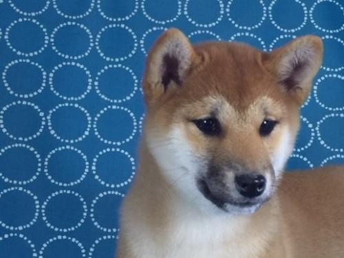 柴犬の子犬(ID:1262511433)の1枚目の写真/更新日:2017-10-16