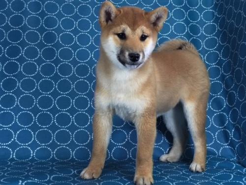 柴犬の子犬(ID:1262511433)の2枚目の写真/更新日:2017-12-06