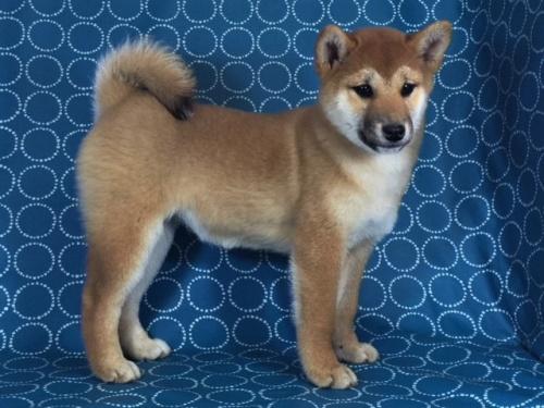 柴犬の子犬(ID:1262511433)の3枚目の写真/更新日:2017-12-06