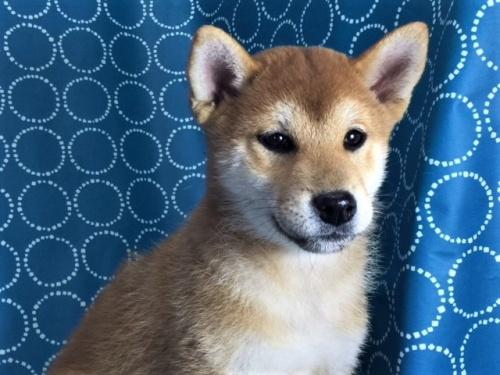 柴犬の子犬(ID:1262511434)の1枚目の写真/更新日:2017-11-21