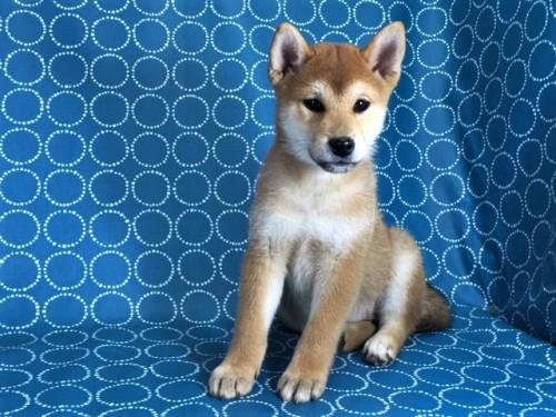 柴犬の子犬(ID:1262511434)の2枚目の写真/更新日:2017-11-21