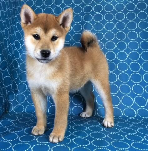柴犬の子犬(ID:1262511434)の3枚目の写真/更新日:2017-11-21