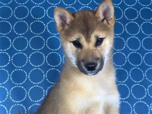 柴犬の子犬(ID:1262511435)の1枚目の写真/更新日:2017-10-16