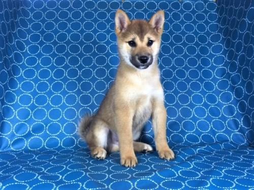 柴犬の子犬(ID:1262511435)の2枚目の写真/更新日:2017-10-16