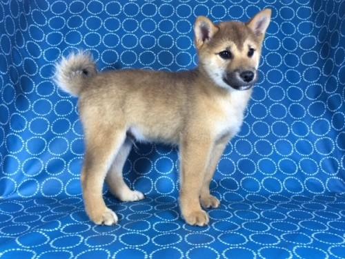 柴犬の子犬(ID:1262511435)の3枚目の写真/更新日:2017-10-16