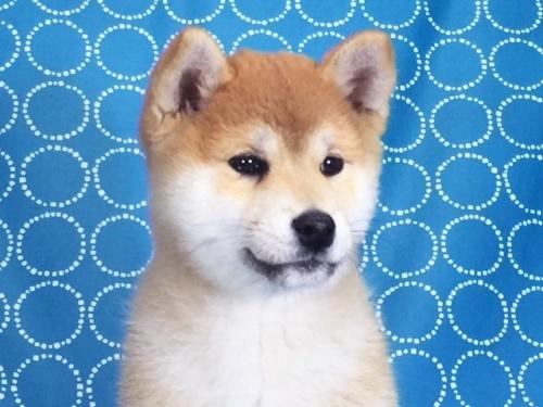 柴犬の子犬(ID:1262511436)の1枚目の写真/更新日:2017-12-06
