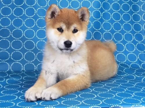 柴犬の子犬(ID:1262511436)の2枚目の写真/更新日:2017-12-06