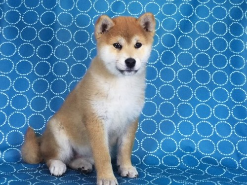柴犬の子犬(ID:1262511436)の3枚目の写真/更新日:2017-12-06
