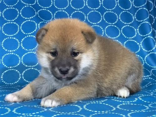 柴犬の子犬(ID:1262511437)の3枚目の写真/更新日:2017-10-26