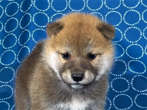 柴犬の子犬(ID:1262511438)の1枚目の写真/更新日:2017-10-28