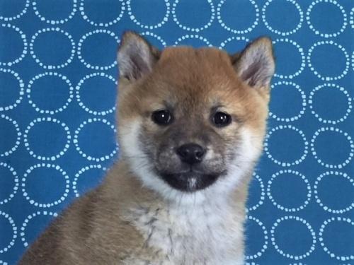 柴犬の子犬(ID:1262511439)の1枚目の写真/更新日:2017-12-11