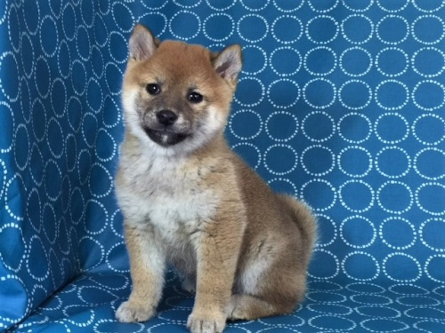 柴犬の子犬(ID:1262511439)の2枚目の写真/更新日:2017-12-11