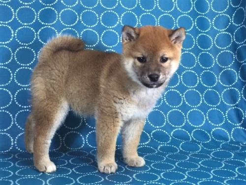 柴犬の子犬(ID:1262511439)の3枚目の写真/更新日:2017-12-11
