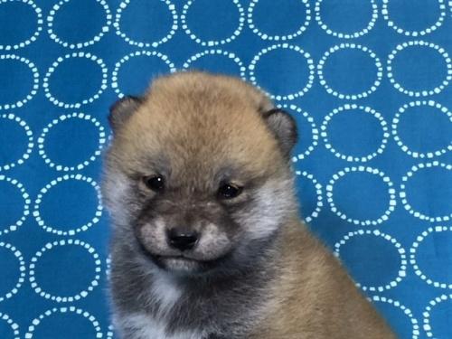 柴犬の子犬(ID:1262511440)の1枚目の写真/更新日:2017-11-18