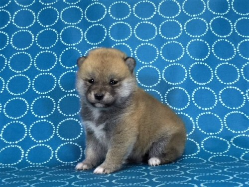 柴犬の子犬(ID:1262511440)の2枚目の写真/更新日:2017-11-18