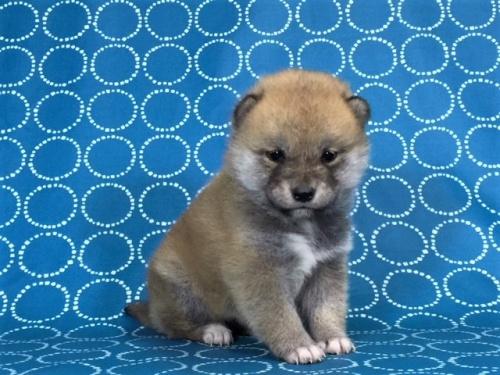 柴犬の子犬(ID:1262511440)の3枚目の写真/更新日:2017-11-18