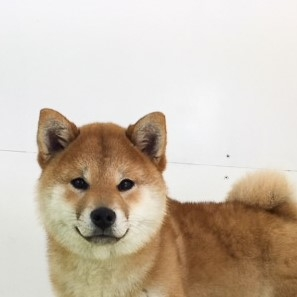 柴犬の子犬(ID:1262511441)の1枚目の写真/更新日:2018-01-11