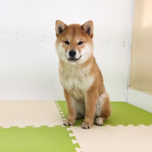 柴犬の子犬(ID:1262511441)の4枚目の写真/更新日:2018-01-11