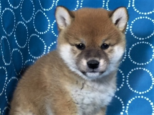 柴犬の子犬(ID:1262511442)の1枚目の写真/更新日:2017-12-05