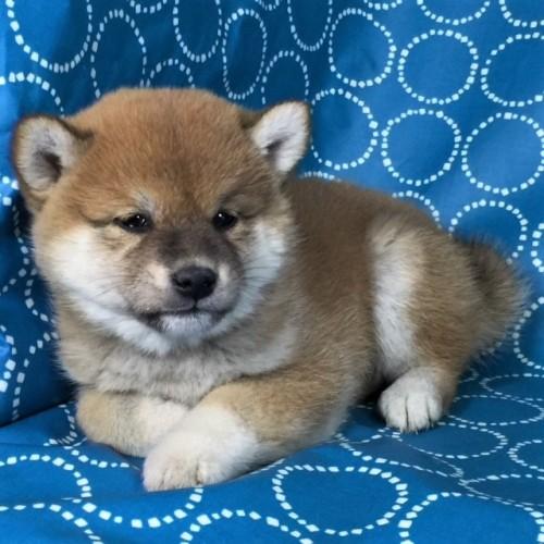柴犬の子犬(ID:1262511442)の2枚目の写真/更新日:2017-12-05