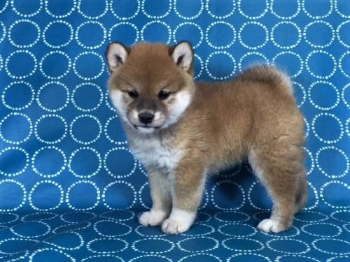 柴犬の子犬(ID:1262511442)の3枚目の写真/更新日:2017-12-05