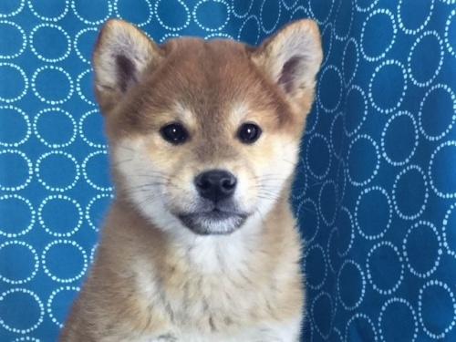 柴犬の子犬(ID:1262511443)の1枚目の写真/更新日:2017-11-21