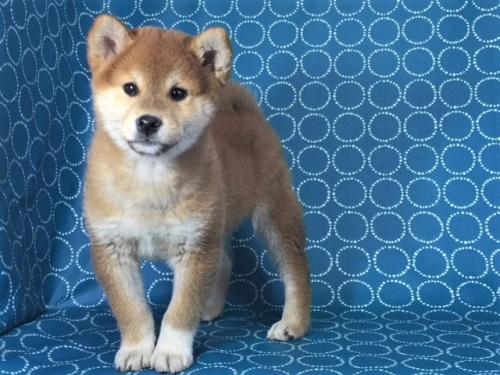柴犬の子犬(ID:1262511443)の2枚目の写真/更新日:2017-12-05