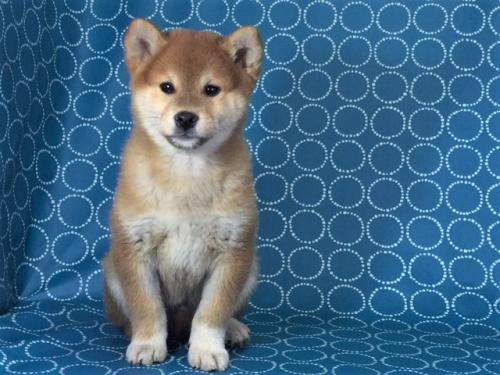 柴犬の子犬(ID:1262511443)の3枚目の写真/更新日:2017-11-21