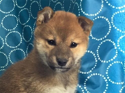 柴犬の子犬(ID:1262511444)の1枚目の写真/更新日:2017-12-09